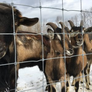 Goats, Woven Wire